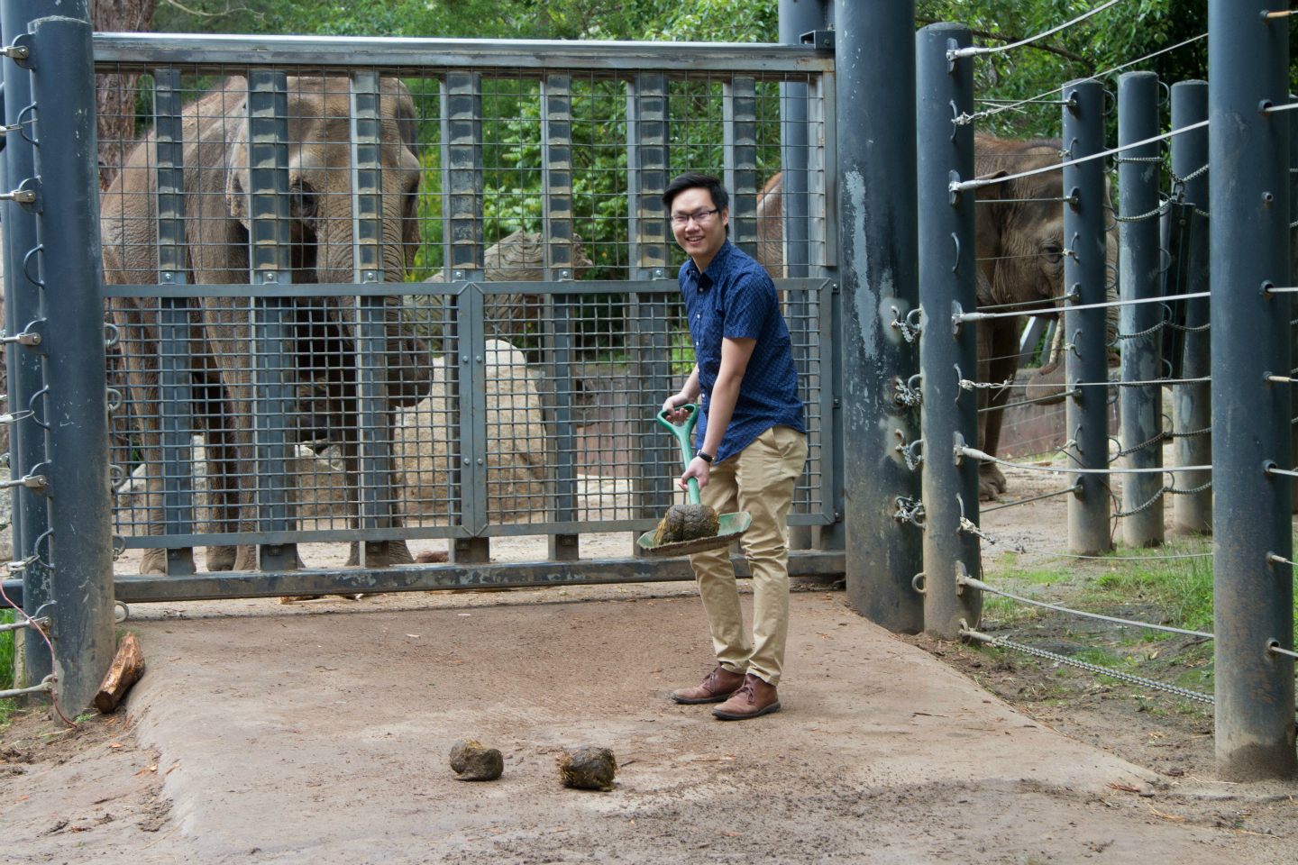 Young man shovelling elephant poo in front of elephants at Melbourne Zoo