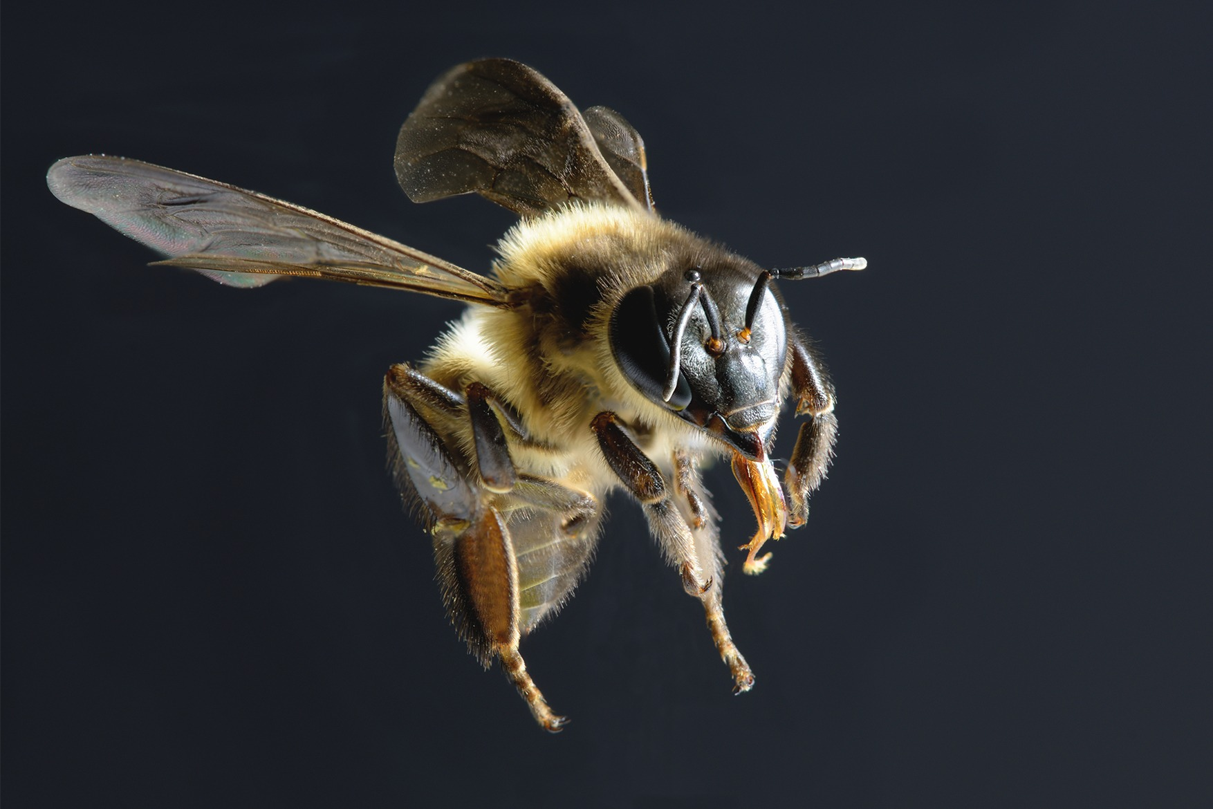 Bee flying against black background
