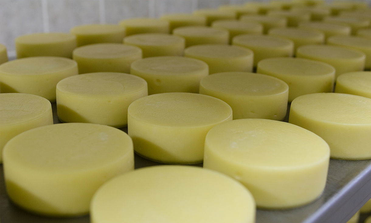 Many cheddar cheese wheels, daily production at the factory.